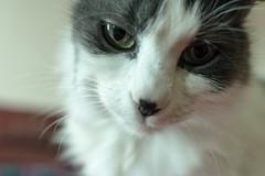 Morgana (elena.busco) Tags: portrait pet cats pets animals cat kitten gatto gatti animali medea morgana gattini instancat