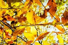 Beech Leaves (Paul's Captures (paul-mashburn.artistwebsites.com)) Tags: fallleaves leaves leaf fallcolor blueridgeparkway beechleaves beechleaf