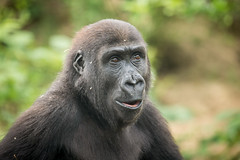 2015-05-14-14h21m02.BL7R2809 (A.J. Haverkamp) Tags: germany zoo hessen gorilla frankfurt frankfurtammain dierentuin westelijkelaaglandgorilla canonef100400mmf4556lisusmlens pobfrankfurtgermany httpwwwzoofrankfurtde quembo dob20122010