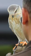 Gorgeous (Fandazza) Tags: kite canon eos birdsofprey blackshoulderedkite 1200d