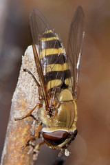Hoverfly (Kentish Plumber) Tags: select