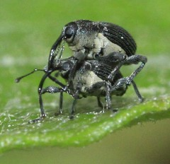 weevil indet curculionidae (BSCG (Badenoch and Strathspey Conservation Group)) Tags: sw
