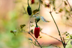 Home Grown Chillies (francoislinde) Tags: grow grown sunny homegrown produce home chilli hot garden centurion 2017 march day chillies southafrica spice plant food gauteng vegetable