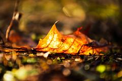 Golden Leaf Hour (Nicholas Erwin) Tags: leaf nature bokeh dof depthoffield goldenhour stowe waterbury vermont vt unitedstatesofamerica usa nikon d610 70200f4vr fav10