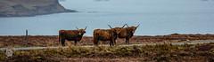 20170318-Schottland_Tag_8-127-Highland Rind, Isle of Skye, Schottland.jpg (serpentes80) Tags: isleofskye highlandrind schottland elgol scotland vereinigteskönigreich gb