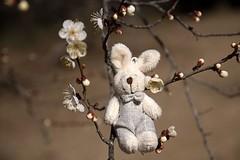 Rabbit and Plum (Ichigo Miyama) Tags: うさぎとウメ rabbit plum ウメ 梅 prunusmume バラ科 rosaceae 春 spring flower plant うさぎ