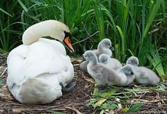 On the nest (v4vodka) Tags: bird birding birdwatching animal nature wildlife outdoor longislandnewyorkswanmuteswancygnusolorlabedzlabadeklabedzniemy waterfowl