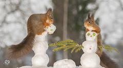 making snowman (Geert Weggen) Tags: red nature animal squirrel rodent mammal cute look closeup stand funny bright sun backlight ice winter snow christmas holiday santa play nose fun joke snowman run head bispgården ragunda geert weggen jämtland sweden sverige