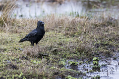 Carrion Crow (Paul..A) Tags: carrioncrow carrion crow corvid scotland