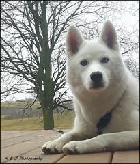 """ Just Chillin on the Deck "" (KLF & JRN) Tags: kjphotography siberianhusky husky brantford dog pet animal pointynoseddogs outdoor"