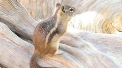 Golden-mantled Ground Squirrel (Sunsades) Tags: goldenmantledgroundsquirrel sx50 canon brycecanyonnationalpark utah squirrel