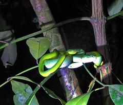 Bako National Park (Lalallallala) Tags: bako nationalpark bakonationalpark sarawak borneo malaysia southeastasia wildlife nightsafari viper snake borneankeeledpitviper