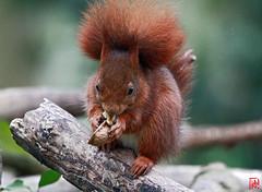 Qu'y a-t-il à l'intérieur d'une noix ? (mamnic47 - Over 7 millions views.Thks!) Tags: sceaux parcdesceaux écureuil perrucheàcollier printemps 10032017 img1810 noix