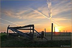 HFF ! (der bischheimer) Tags: sonnenaufgang zaun zäune fences kühe tiere lausitz oberlausitz canon derbischheimer feld
