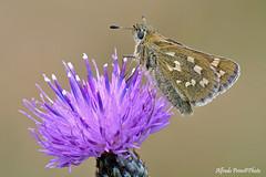 Hesperia comma (alfvet) Tags: macro nikon d5200 sigma150 veterinarifotografi natura nature farfalle insetti ngc npc