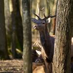 Jeune cerf à l'écoute thumbnail