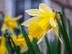 Happy Easter from Norway (Vest der ute) Tags: xt2 norway rogaland haugesund flowers easter fav25