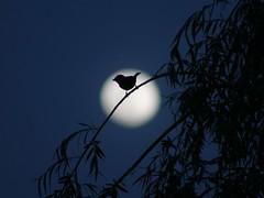 Pássaros ao luar (Arlindo Vale) Tags: pássaro lua luar noite portugal
