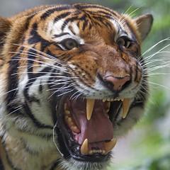 Hissing tiger (Tambako the Jaguar) Tags: openmouth unfriendly pissedoff teeth unhappy portrait funny malayan male tiger big wild cat jacksonvillezoo jacksonville zoo florida unitedstates america usa nikon d5
