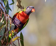 Rainbow Lorikeet (Trichoglossus moluccanus) (mosesharold) Tags: newcastle nsw australia16apr17181104485dmarkii1 parrots australia cardiff lorikeet birds lakemacquarie flickrbirds