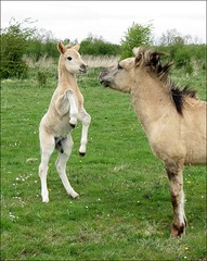 I can see it in your eyes (daaynos) Tags: konikhorses konik horses spring cute