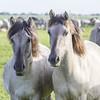 Oostvaardersplassen (Hans van der Boom) Tags: nederland netherlands ijsselmeerpolders flevopolder oostvaarderplassen animal horses wild herd konik horse lelystad nl perpetualwinner