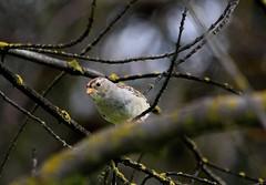 2017-03 (1132) Sparrow at Woodward Park!! (KatieKal) Tags: bird sparrow spring california canon60d