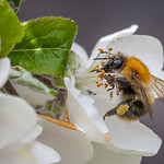 Bee working hard on our Discovery apple tree thumbnail