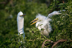 Look Mom! (Melis J) Tags: egrets greategret ardeaalba chick branchling bird florida wildlife nikond500 nikon200500