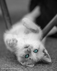 kitty (jenna.lindquist) Tags: kitty cat canon blue eyes cateyes cateye kittycat playful blueeye blueeyes photoshop blackandwhite blackandwhitephoto animal animals