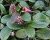 Salix reticulata (Net-leaved Willow) (Hugh Knott) Tags: salicaceae salix flora zermatt switzerland valais helvetica