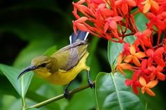 Olive backed sunbird (CL Ho) Tags: sonyrx10m3 birding nparks singaporebotanicgardens sunbird olivebackedsunbird