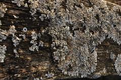 Die Sulcatflechte (Parmelia sulcata) auf einem alten Balken; Schwabstedt, Nordfriesland (5) (Chironius) Tags: schwabstedt nordfriesland schleswigholstein deutschland germany allemagne alemania germania германия niemcy szlezwigholsztyn holz wood legno madera bois hout flechte lichen