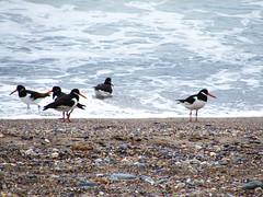 Oystercatchers (sam2cents) Tags: eurasian oystercatcher bird haematopus ostralegus ireland irishsea wicklow shore coast sea beach sand shingle waves