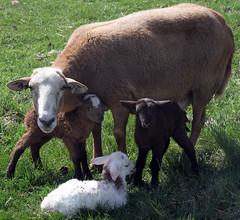 Four (baalands) Tags: katahdin hair sheep ewe lambs triplets pasture spring grass red