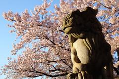 Guardian dog (Teruhide Tomori) Tags: guardiandog 狛犬 六孫王神社 京都 桜 春 日本 japan sakura cherry japon kyoto shrine spring