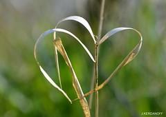 Coeur de paille !! (jackline22) Tags: coeur paille macro fleur marais aquitaine gironde