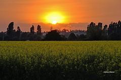 Tramonto sul campo giallo (stefano.chiarato) Tags: campagna campi giallo colza tramonto sole sunset lombardia italy primavera