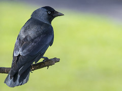 Jack the lad - 3 ~ Explored (Margaret S.S) Tags: bird corvid jackdaw