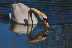 Inquisitive Mute Swan (paulinuk99999 - tripods are for wimps :)) Tags: paulinuk99999 mute swan british aquatic river ouse wildlife sal70400g