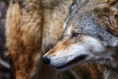 Timber Wolf Portrait (Alfred Grupstra) Tags: hoenderdaell animal closeup portrait wolf annapaulowna noordholland nederland nl carnivore wildlife mammal graywolf animalsinthewild fur canine nature looking animalhead oneanimal winter animalthemes animalshunting dog