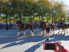 cubs world series parade. november 2016 (timp37) Tags: chicago cubs baseball illinois november 2016 world series parade horse dog budweiser clydesdale
