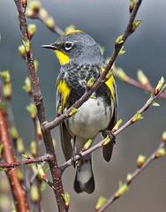 Audubon's Warbler (richmondbrian) Tags: dncb 201713 iona yellowrumped warbler audubons