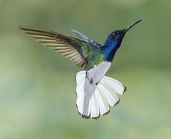 The Dancer. White Necked Jacobin Hummingbird, Asa Wright Nature Center, Arima Valley, Trinidad. (pedro lastra) Tags: winner alt