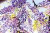 DSC_1579 (sayo-tsu) Tags: 藤 wisteria 牛島のフジ 春日部市 埼玉県 kasukabe saitama 特別天然記念物