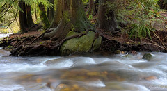 roots rock reggae (Shannon Leigh Photography) Tags: river nature flow slp shannonleighphotography spring april2017 rocks le princesspark bc natural forest
