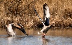 Troublemaker (Duevel) Tags: goosefight goose fight water troublemakers nature bird vogels ganzen gans westerplas schiermonnikoog