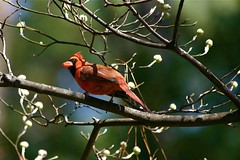 ~ Sunshine On His Shoulders Makes Him Happy .... (~ Cindy~) Tags: tree cardinal red male tennessee rockwood spring 2017 blossom