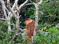 at Wetlands wildlife cruise (Lalallallala) Tags: sarawak kuching wetlands cruise travel borneo malaysia southeastasia nenäapina proboscismonkey primate monkey wildlife