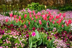 Rose fushia (patoche21) Tags: continents eure europe france giverny hautenormandie normandie fleur fleurs flore pluie flora flower garden patrickbouchenard normandy nature tulipe